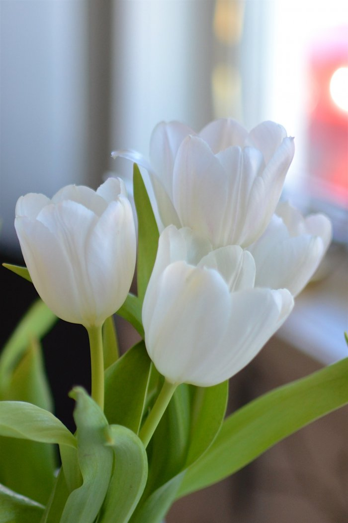 Tulpaner, vita tulpaner, fibromyalgi, frufibro