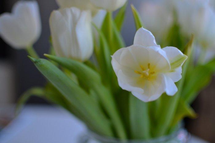 Mitt i veckan, vita tulpaner och hosta som inte ger sig.