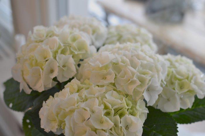 Vackraste vita hortensian