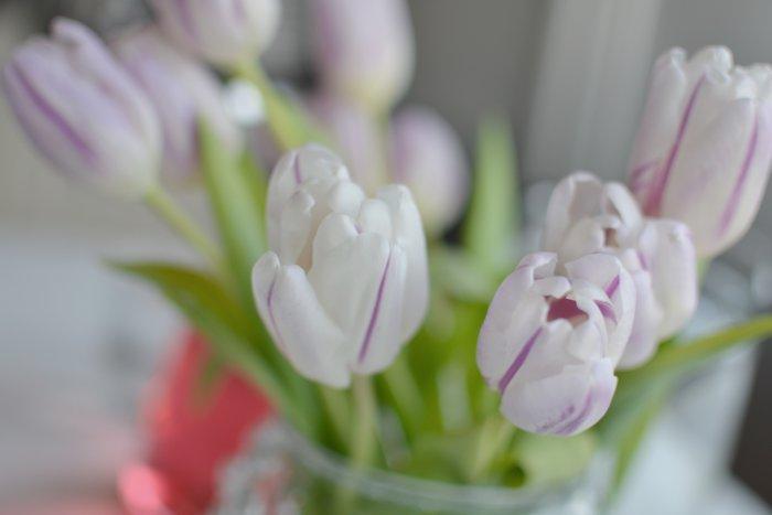Vit och lilarandiga fredagstulpaner. Våren kommer med samsjukdomar.