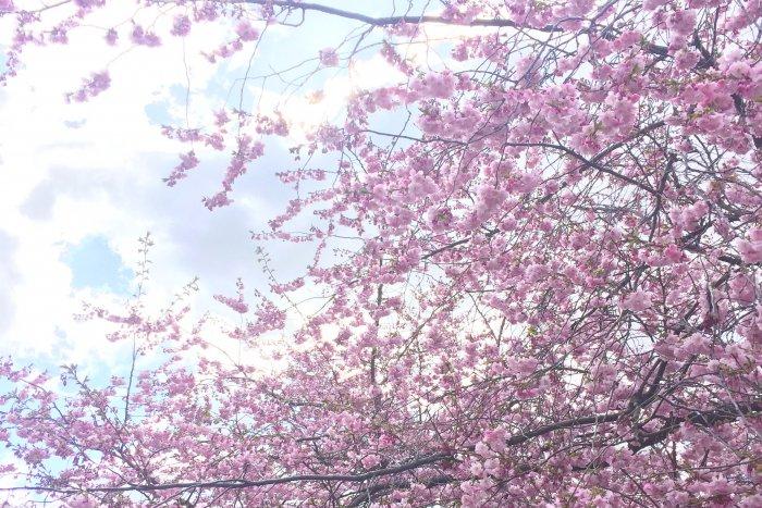 Körsbärsblommor i full blom och en doft av våren