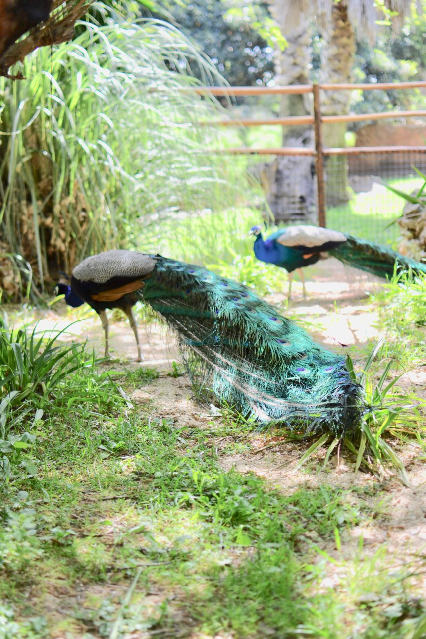 Lagos Zoo, peacock