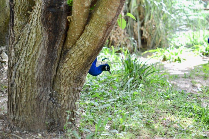 Lagos Zoo, peacock pikaboo