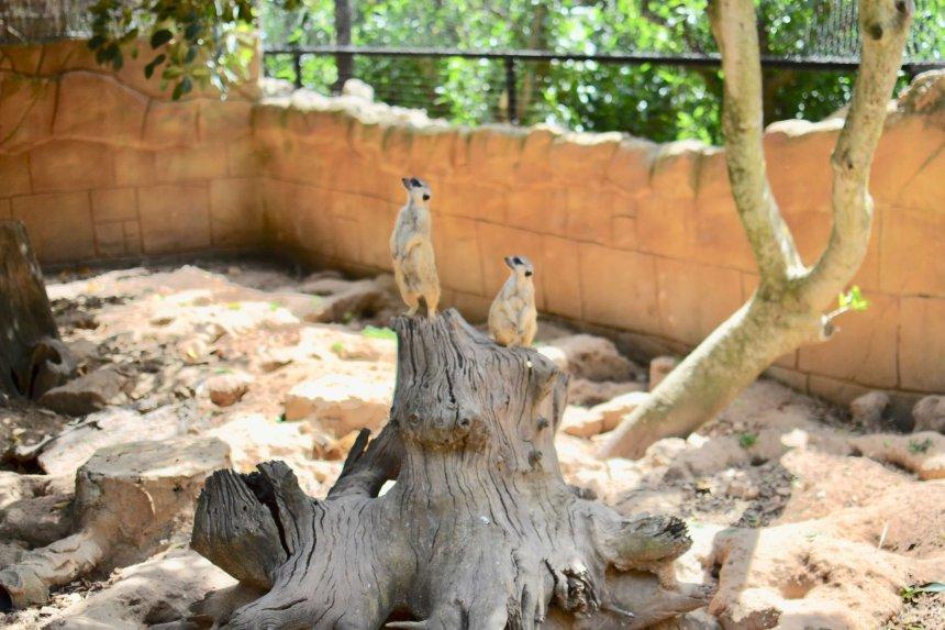 Lagos Zoo Surikat, Meerkat
