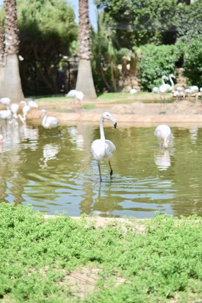 Lagos Zoo, Flamingo