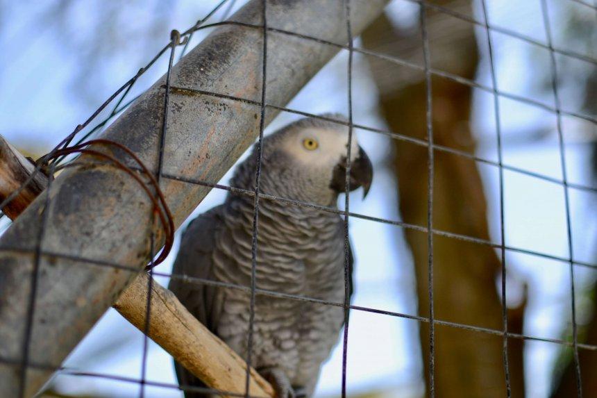 Lagos Zoo, grå jacko, papegoja