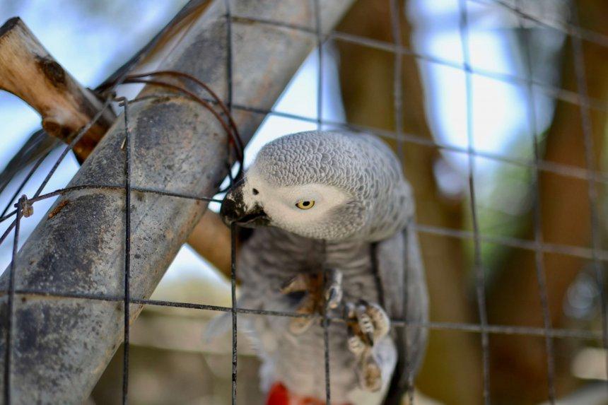 Lagos Zoo, grå jacko papegoja